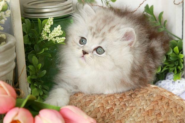 Silver Persian Kittens For Sale Persian Kittens Persian Kittens