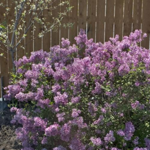 The New Bloomerang Lilac It S Only A Small Bush Rather Than The Gigantic Size Of The Typical Lilac And It Bloo Bloomerang Lilac Lilac Bushes Lavender Plant