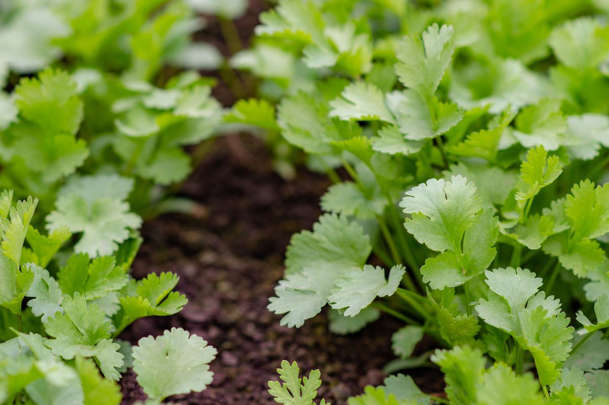 Cilantro companion planting 7 plants to grow with