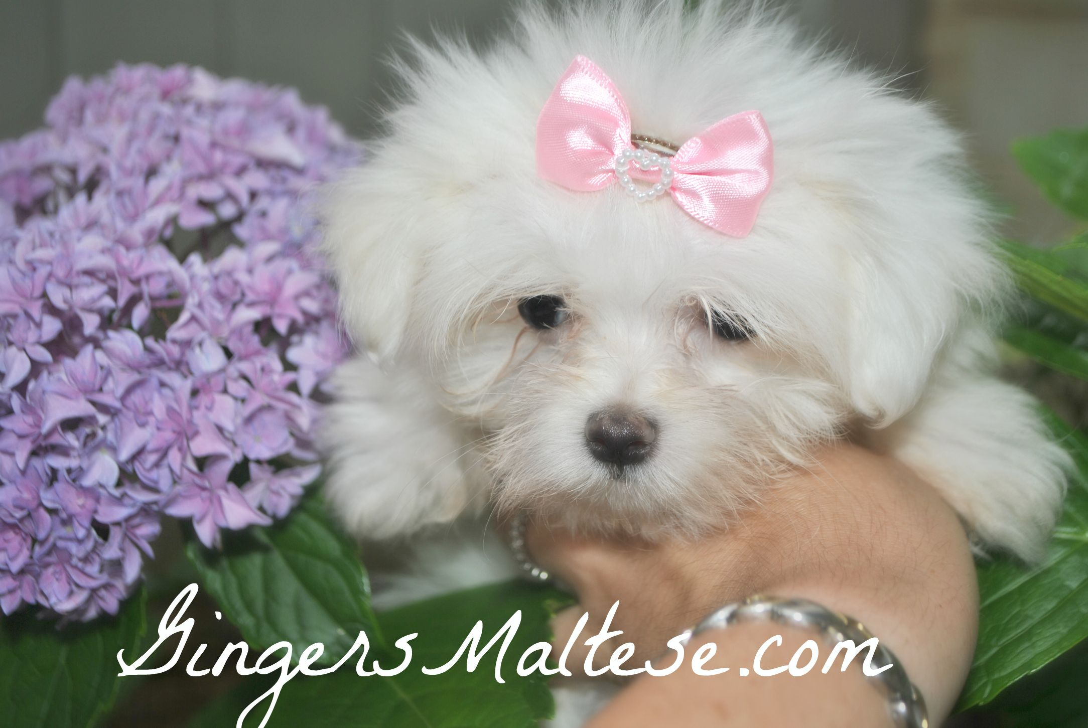 Maltese Puppies Available In One Week Near Raleigh Nc Area