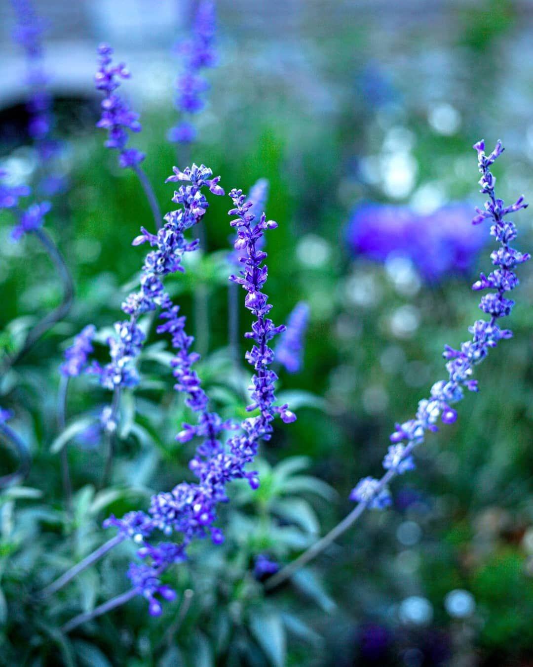 Blue flower. Kassel, Karlsaue.  Photographer: @salogwyn_fine_Art  #nature #naturelovers #casselfornia #kassel #kasselfornia #wonderful_places #wonderfullife #beautifulnature #beautifullight #motherearth #worldbestshot #seascape #photography #divine_worldplaces #challenge #photooftheday #photoshoot #colorful #gurushotschallenge #gurushots #shotaward #ig_mood #autumn #autumnvibes🍁 #amazing_shots #blueflowers💙 #flowermagic #flowermagazine #color