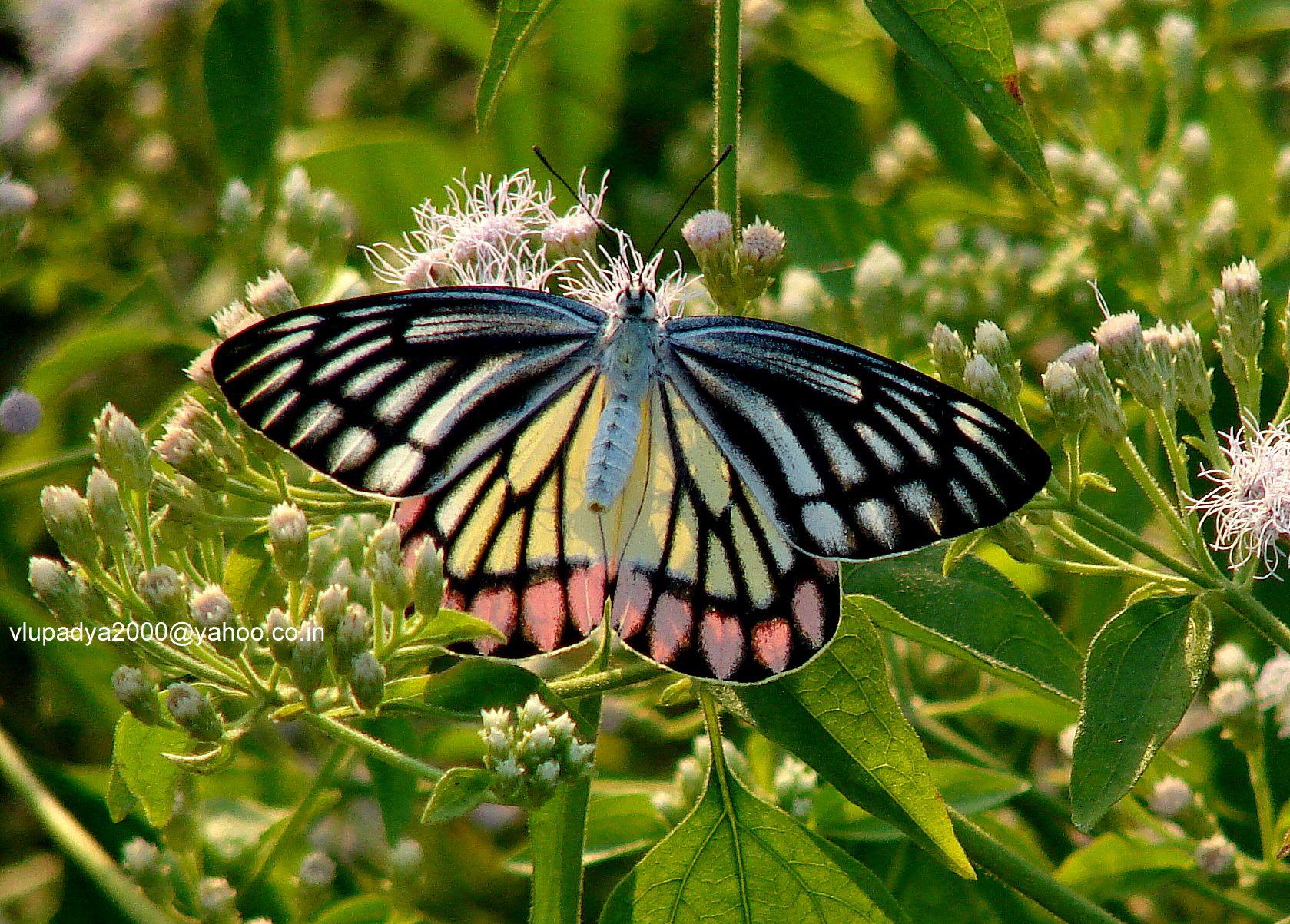 Khaskhabar/राष्ट्रीय तितली: इन दिनों देशभर में तितलियों को गिनने, समझने और