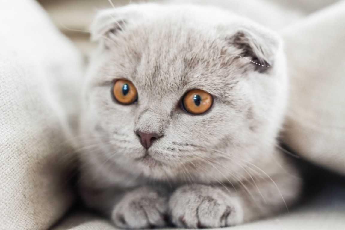 The Scottish Fold Cat Cat Scottish Fold Scottish Fold Kittens Scottish Fold