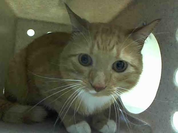 TAZZY - A1035954 - - Staten Island **TO BE DESTROYED 05/17/15** Boo and Tazzy Are Matching Neutered Hug Machines Who Need You Tonight! These 4-year-old boys are both reported as being super nice cats, according to the owner surrender sheets, and both boys are feeling a little rattled by their scary new surroundings. Despite their fear, Boo and Tazzy have put their best feet forward and earned excellent EXPERIENCE ratings. Orange cats are loads of fun, and a matched set is