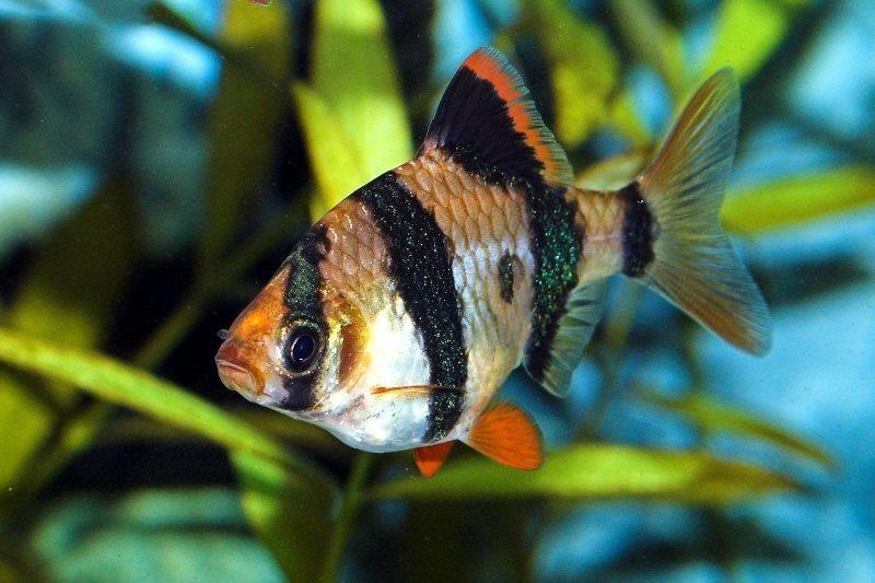 Tiger Barbs Tiger Barb Puntius Tetrazona Peixes