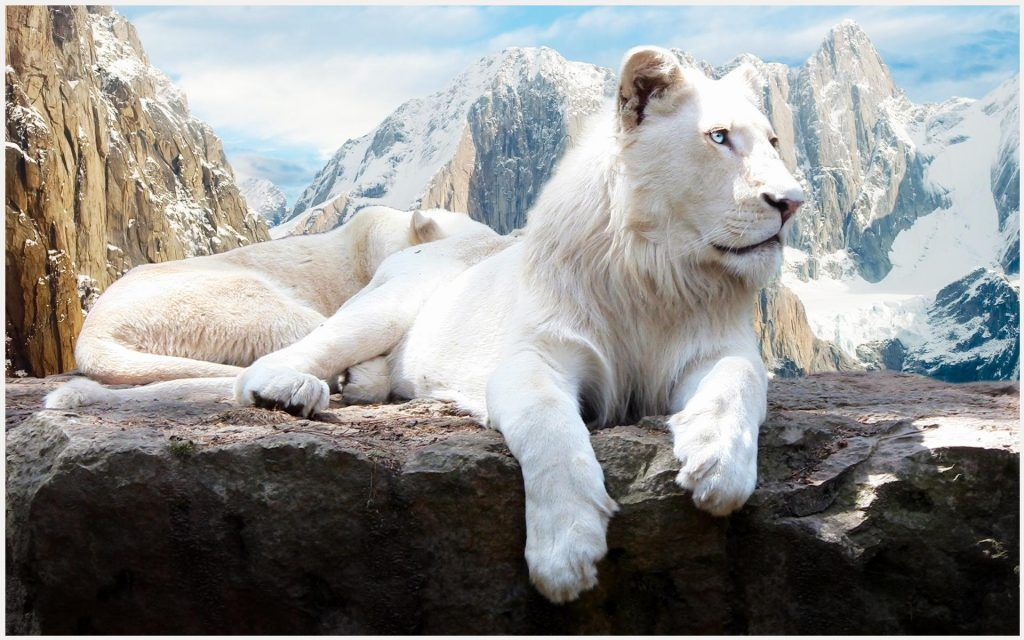 White Lion With Blue Eyes Wallpaper 3d