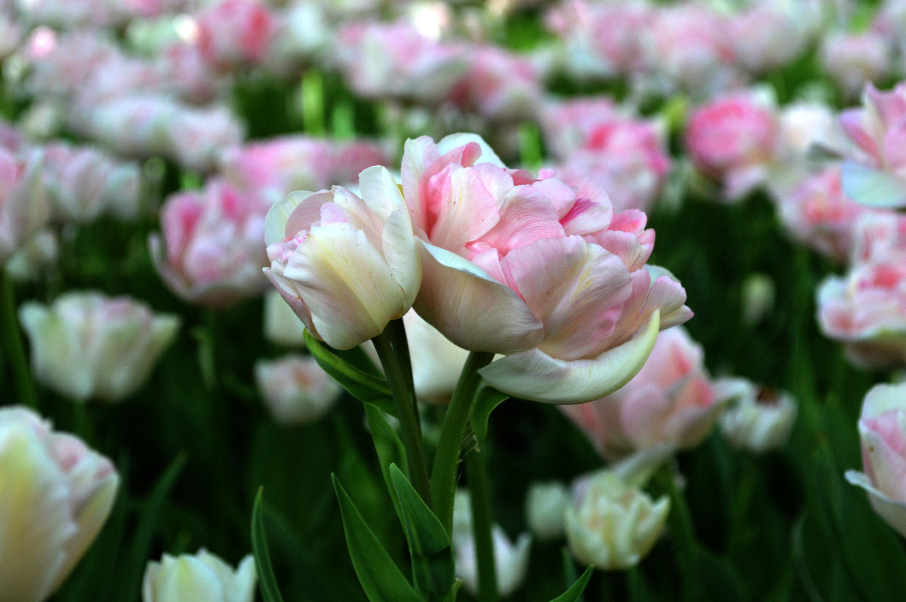 Tulip Angelique Top Size Bulbs