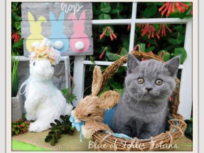 British Shorthair Male Female Birthdate 02 08 2019 Location Texas United States British Shorthair Cattery Kittens