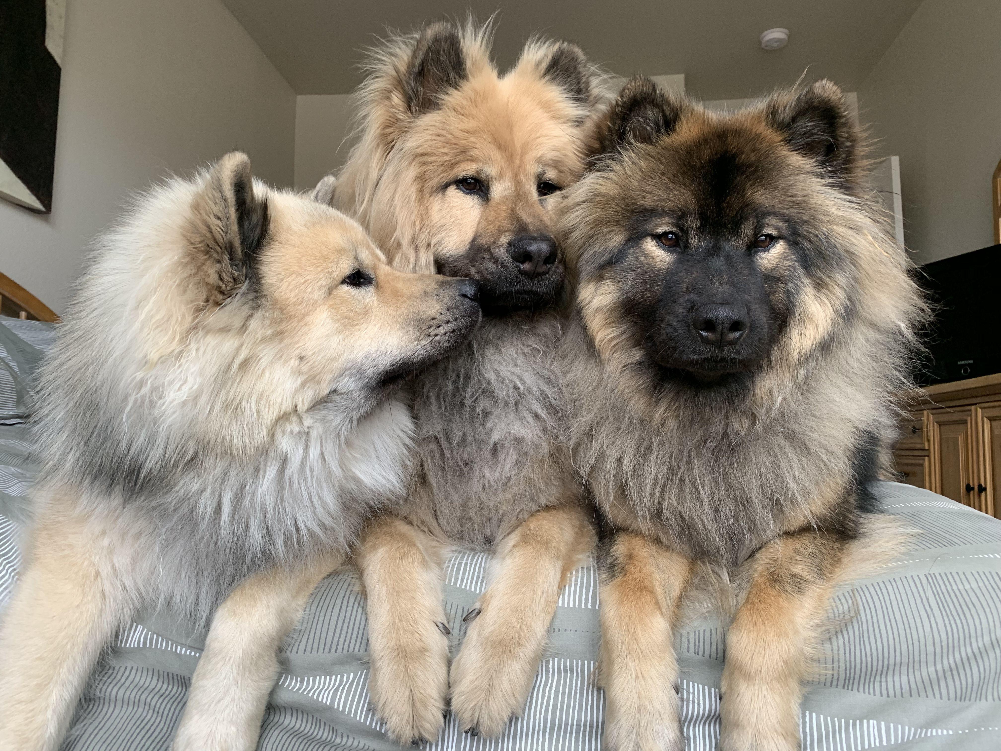 Eurasier Eurasian Dog Cute Dogs Cute Animals