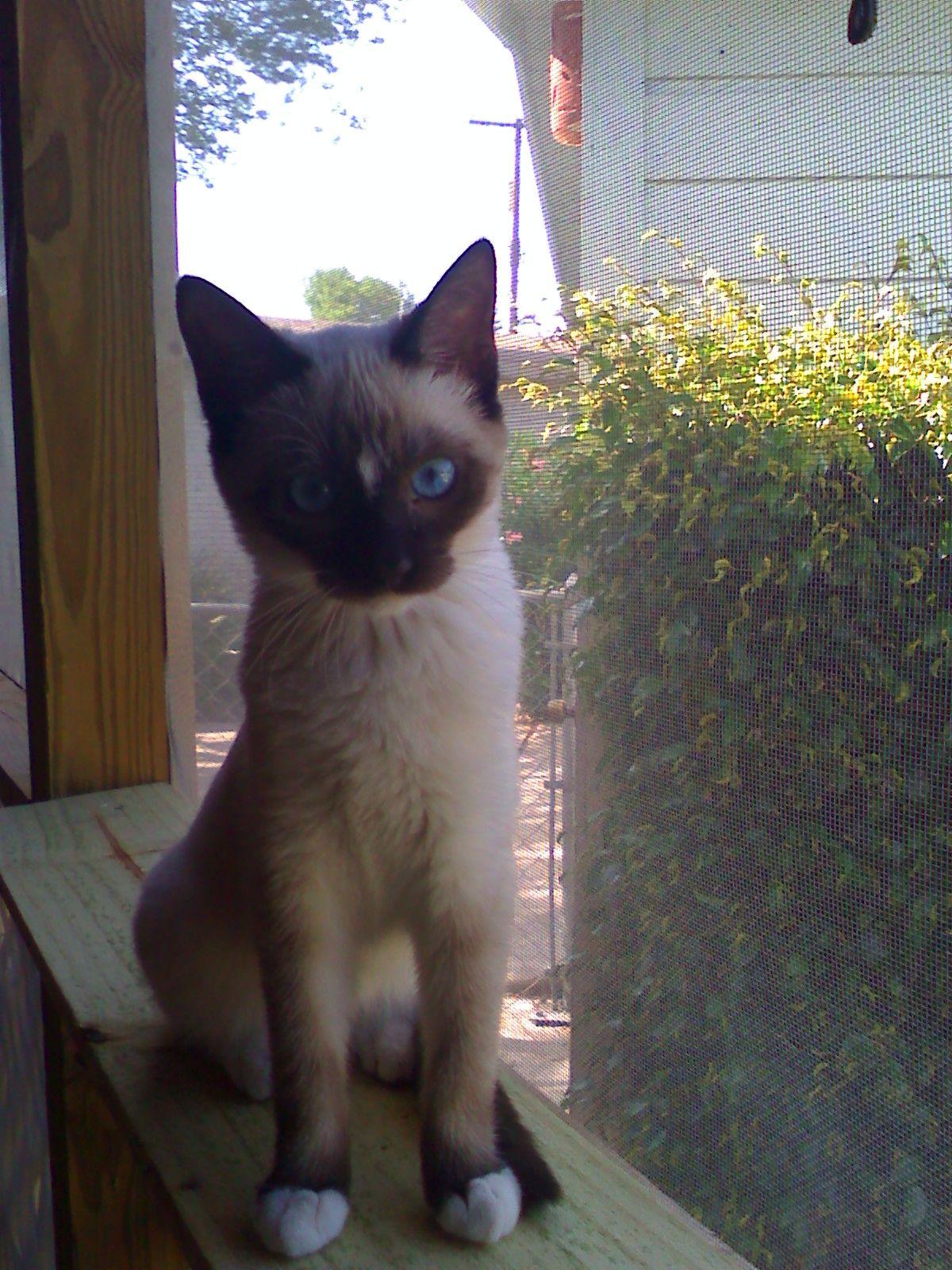 Stella, the snowshoe kitten Animal lover, Snowshoe