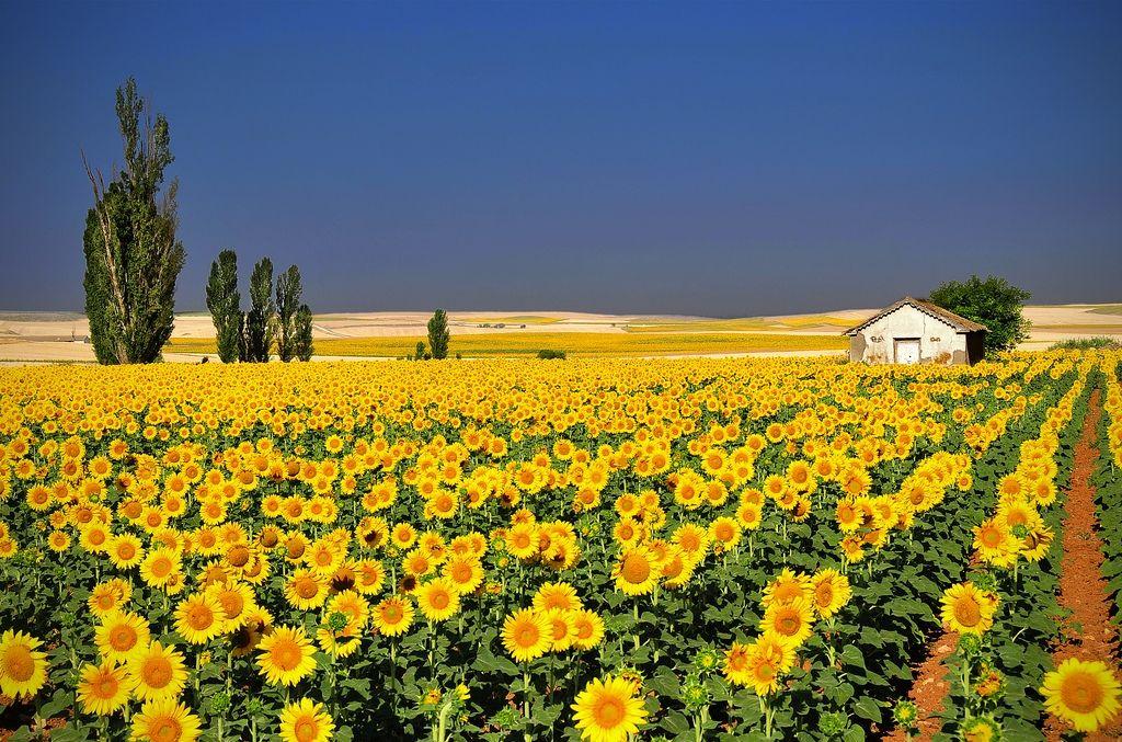 Paisajes Encantadores Quisiera Ver A Vincent Van Gogh Pintando Estos Girasoles Hermosa Fotografia De Paisaje Campo De Girasoles Paisajes