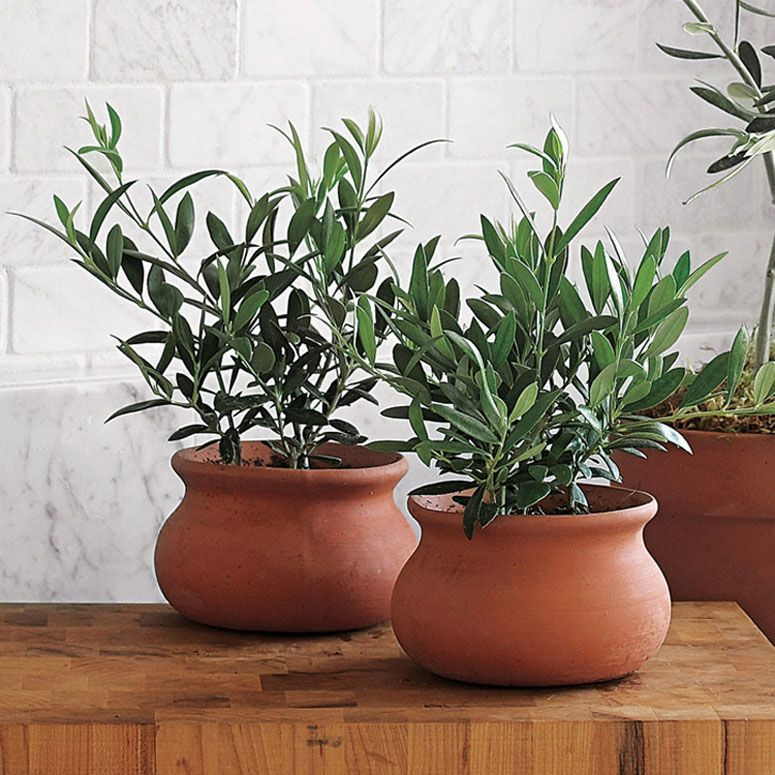 inspiration tropical house plant care. These Mini European olive trees serves as inspiration for sub tropical  indoor plants such Weber Olive Trees Agaves Terracotta and Plants