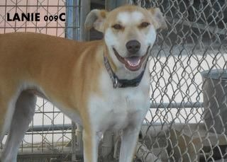 Lanie Labrador Retriever Adult Female Large Humane Society