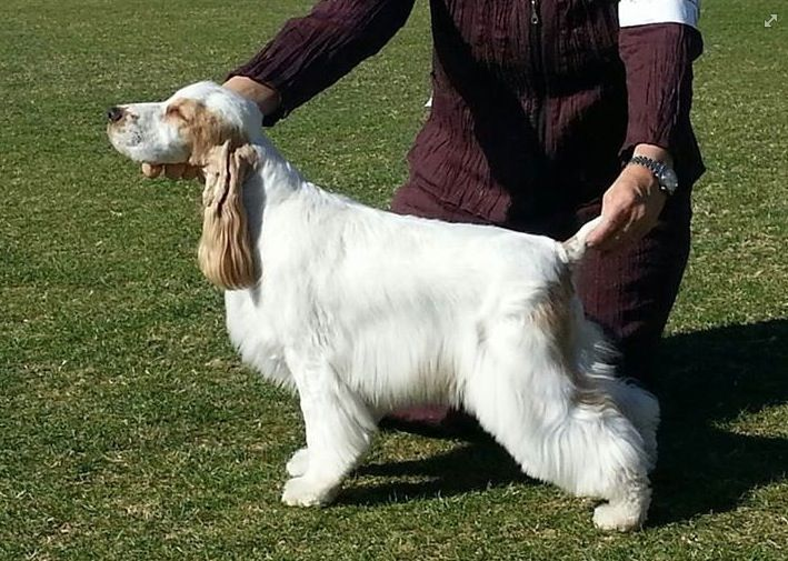 Hailey From Barrister English Cockers Best In Show English