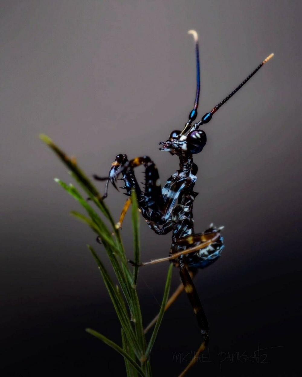 Psuedocreobotra Wahlbergii Spiny Flower Praying Mantis L3 5