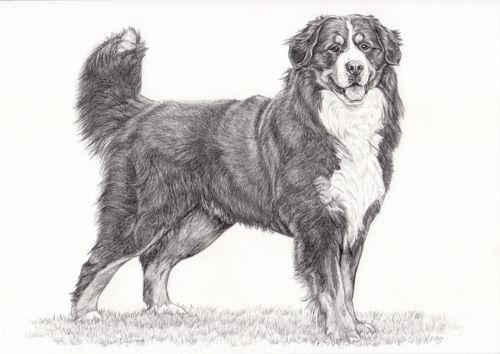 illustratie berner sennenhond potlood tekening hond