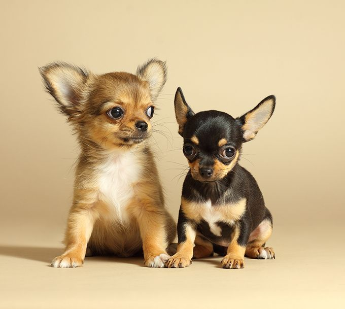 Chihuahua Puppies | Pet | Pinterest | Chihuahua puppies ...