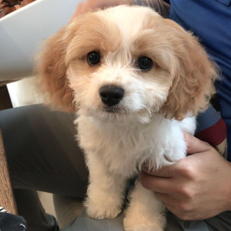 Adopt Gavin On Shih Tzu Dog Dog Grooming Shih Tzu