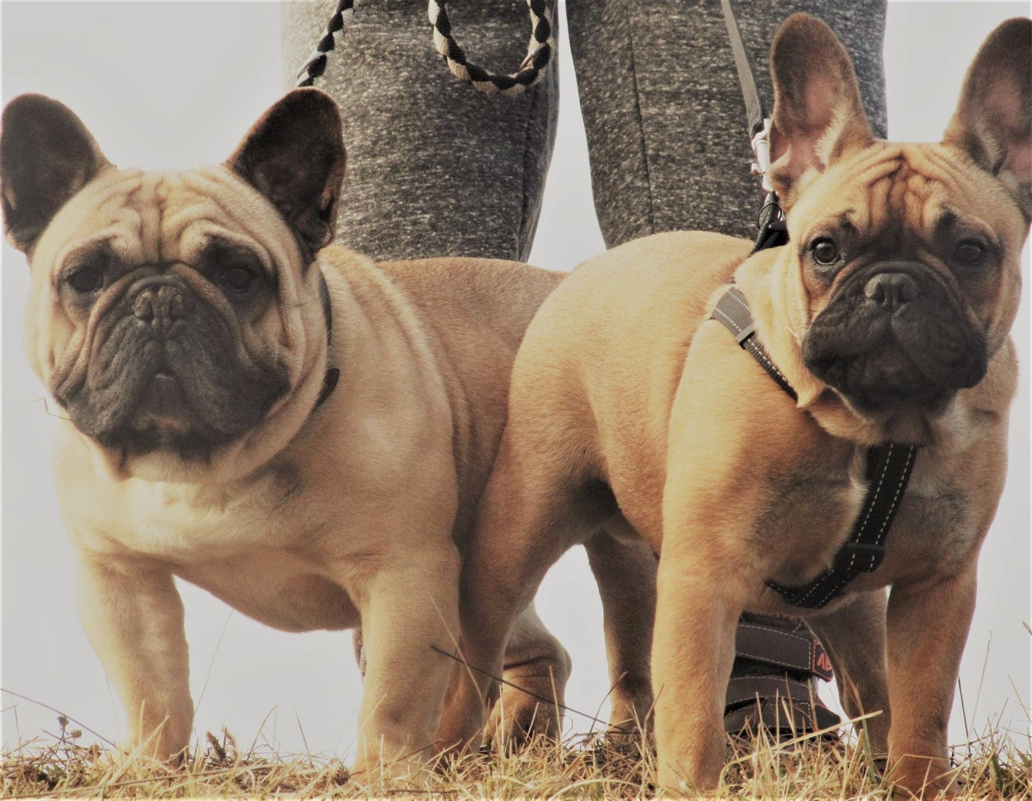 French Bulldogs Fotka Uzivatele Jana Civanova Nice Rose Ear And