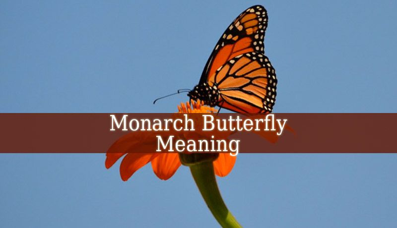 Monarch Butterfly Meaning This Beautiful Butterfly Can Mean Many