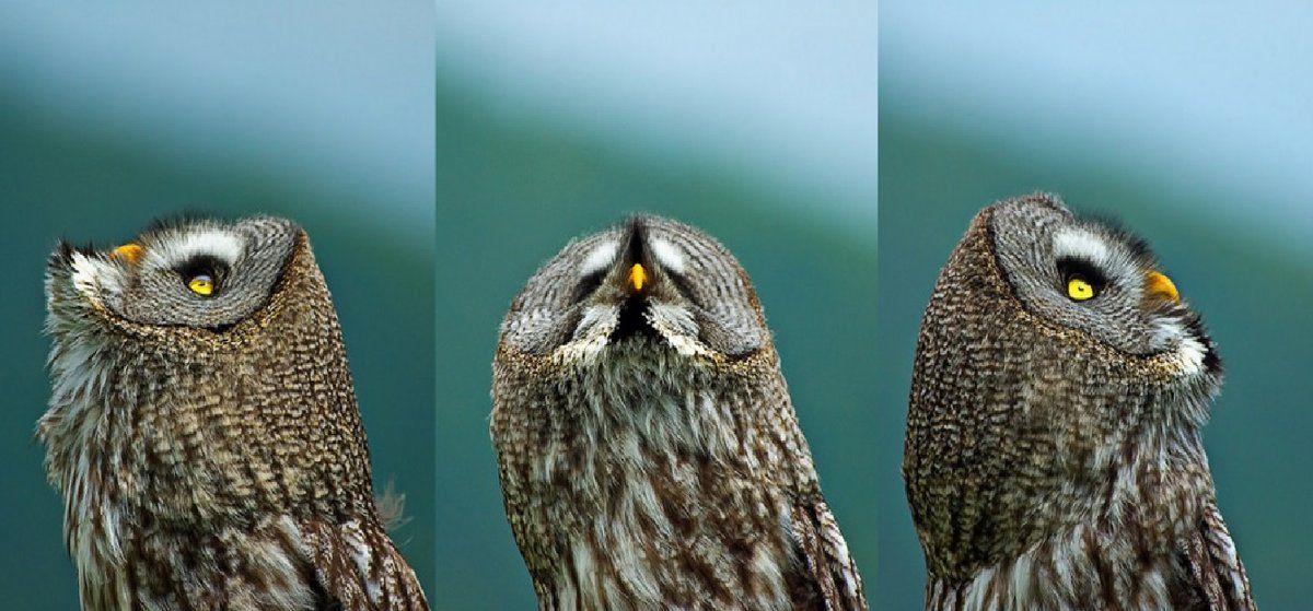 (19) Twitter | Owl photos, Great grey owl