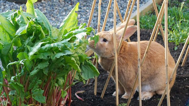 Rabbit playing safely in back yard