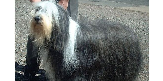 Bearded Collies The Herding Dogs From Scotland Bearded Collie