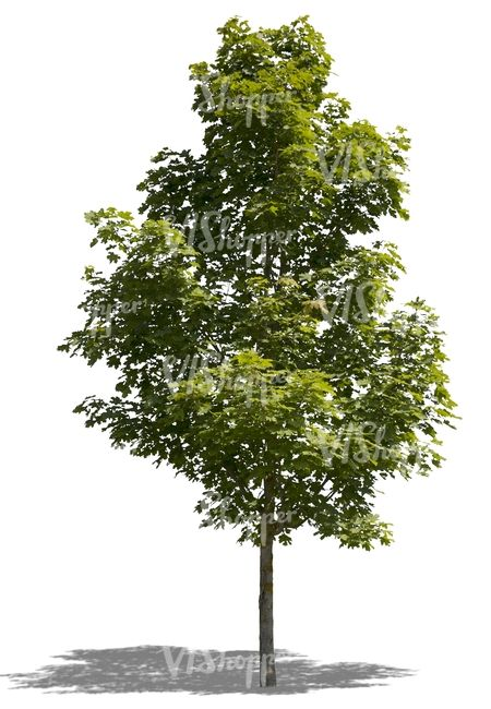 cut out medium size maple tree | SKETCHUP 2D MATERIALS | Maple tree