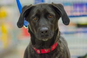 Misty is an adoptable Black Labrador Retriever Dog in Kentwood, MI. Meet Misty - Misty came to Pet Tales Rescue with her six puppies when they were two weeks old. Just about all of Misty's puppies hav...