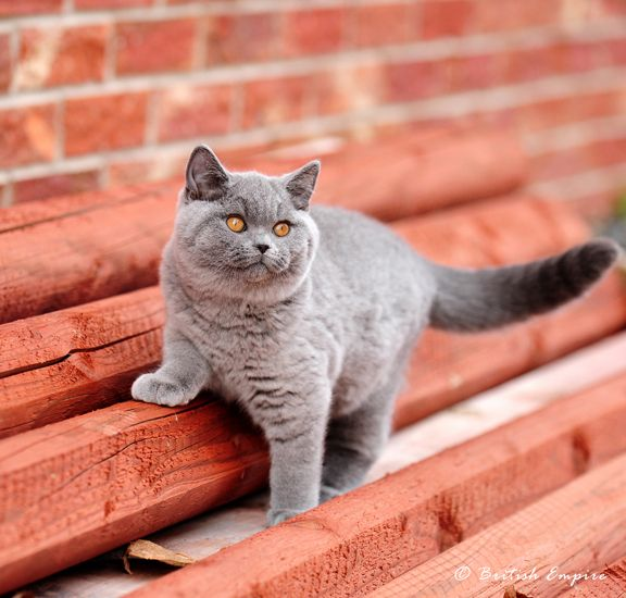 British Empire Cats Booboo British Blue Cat British Shorthair Cats Cats