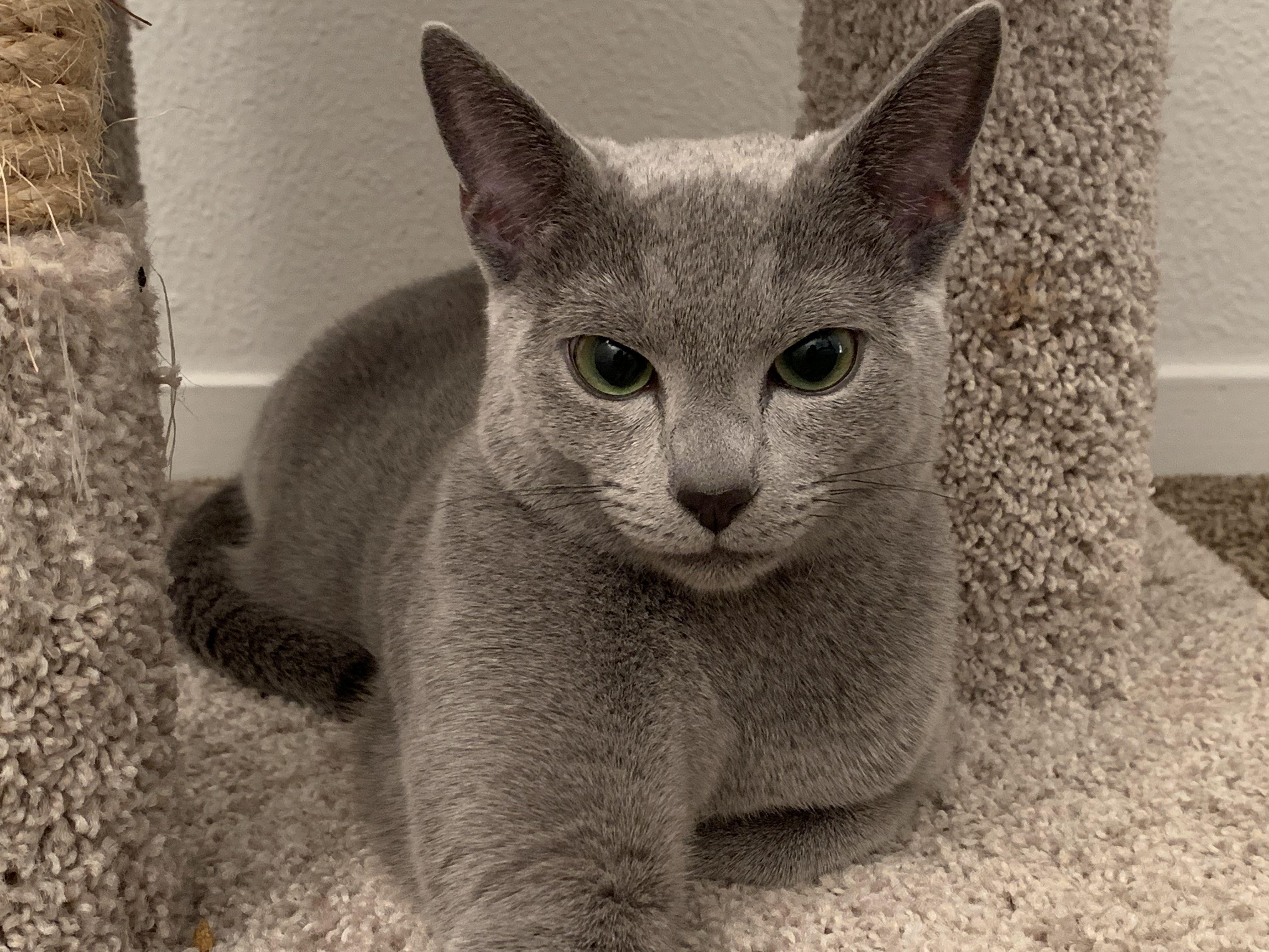 Russian Blue Cat Cute Cat Breeds Russian Blue Cat Breeds