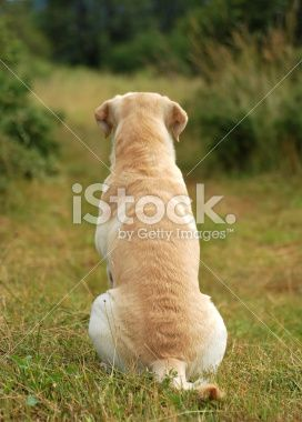 Rear View Images Of Yellow Labs Sitting Google Search Yellow