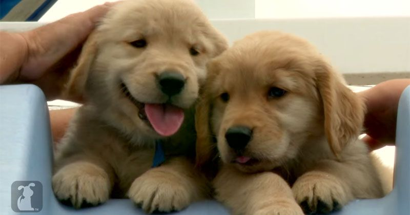 This Video Contains Golden Retriever Puppies Lots Of Them