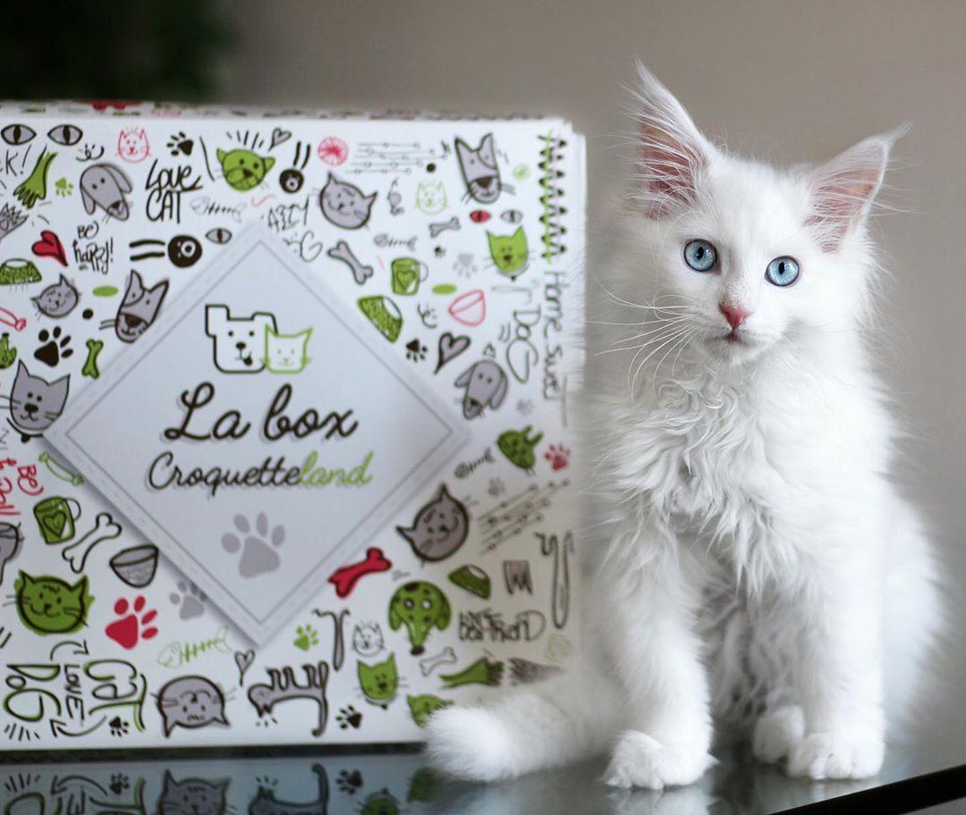 Box Croquetteland Contest And Animalsinfluence Balousfriends Bestcats Oftheworld Bestmeow Blueeyedcat Box Cat Catlover Catofinstagram Catp Di 2020