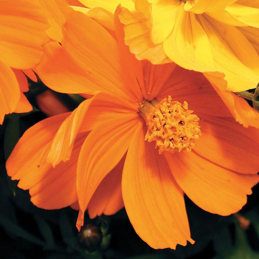 Cosmic Orange Cosmos Flower Seeds Flower Seeds Cosmos Flowers Flowers