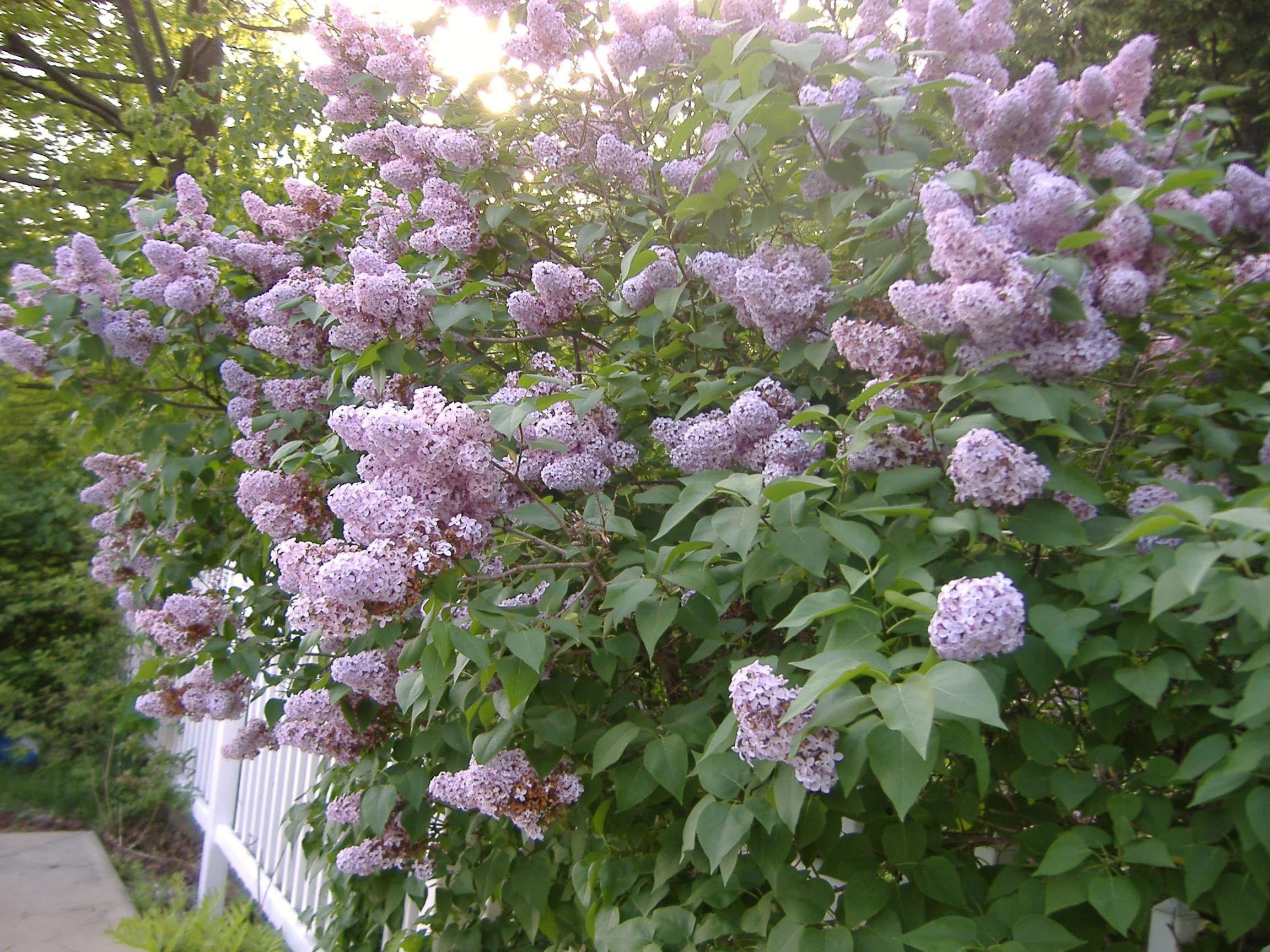 Old Fashioned Lilac Hedge