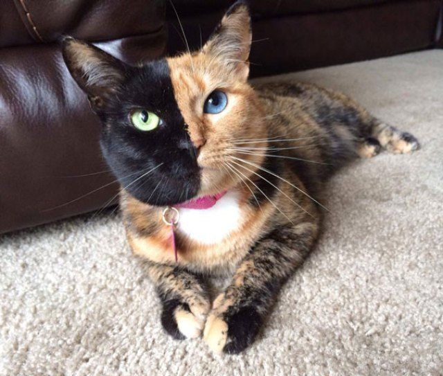 Meet Venus The One Of A Kind Cat We Love Cats And Kittens Two Faced Cat Beautiful Cats Cats And Kittens