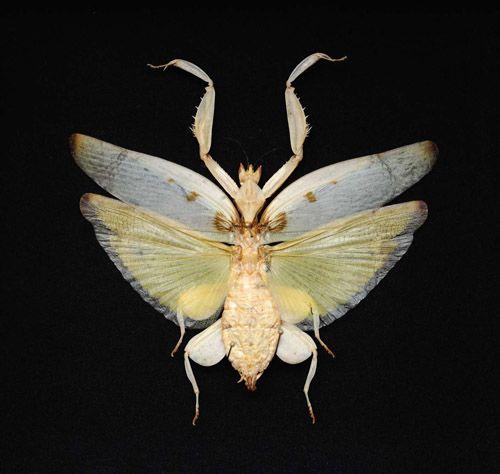 deyrolle entomologie vente d 39 insectes et de papillons cr atures v g t 39 animales pinterest. Black Bedroom Furniture Sets. Home Design Ideas