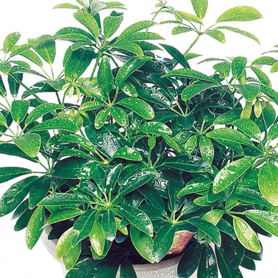 Luseane schefflera arboricola umbrella tree for How to take care of exotic angel plants