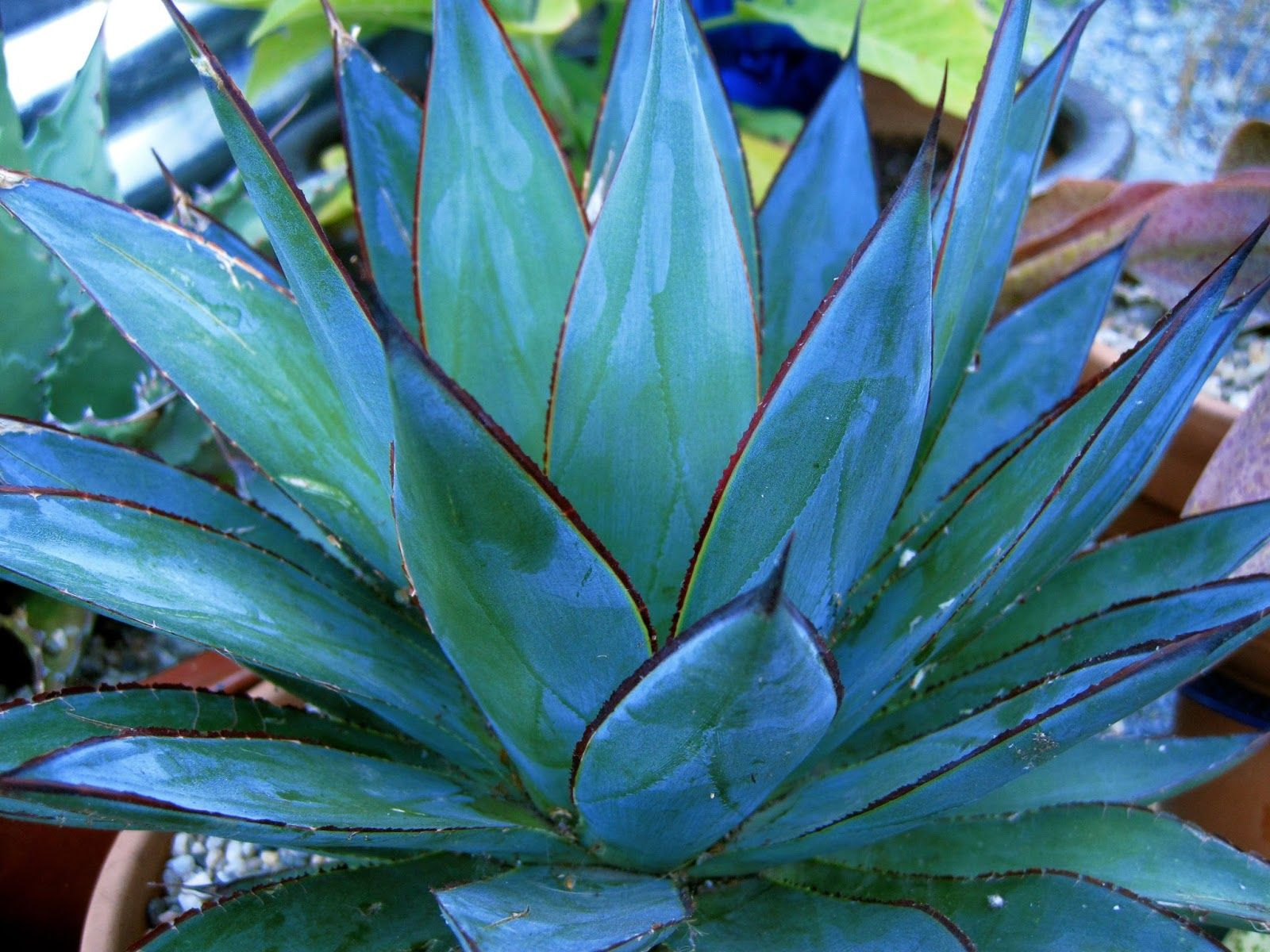 Blue Agave  Google Search