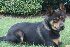 Bear Is An Adoptable Chow Chow Dog In Tuscaloosa Al I Love