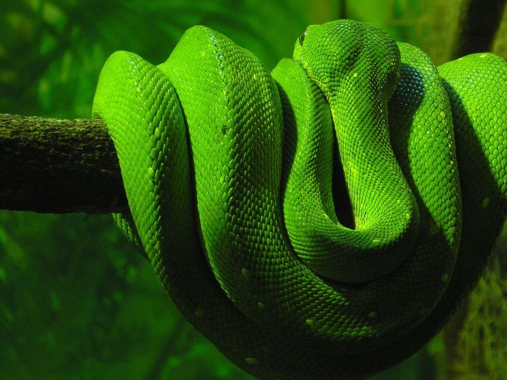 Lime green snake! Snake wallpaper, Green snake, Animal