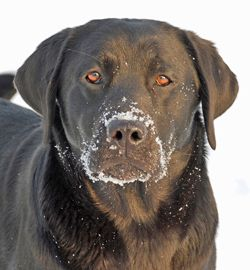 Amber Sky Labradors Ohio Reminds Me Of Our Ellie May She Was A Great Dog Miss Her Much Labrador Puppies For Sale Labrador Dog Breeder