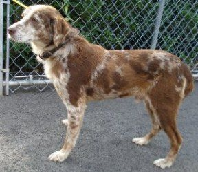 Adopt Honeycutt Pa On Australian Shepherd Dogs Catahoula Leopard Dog Mix Dog Adoption