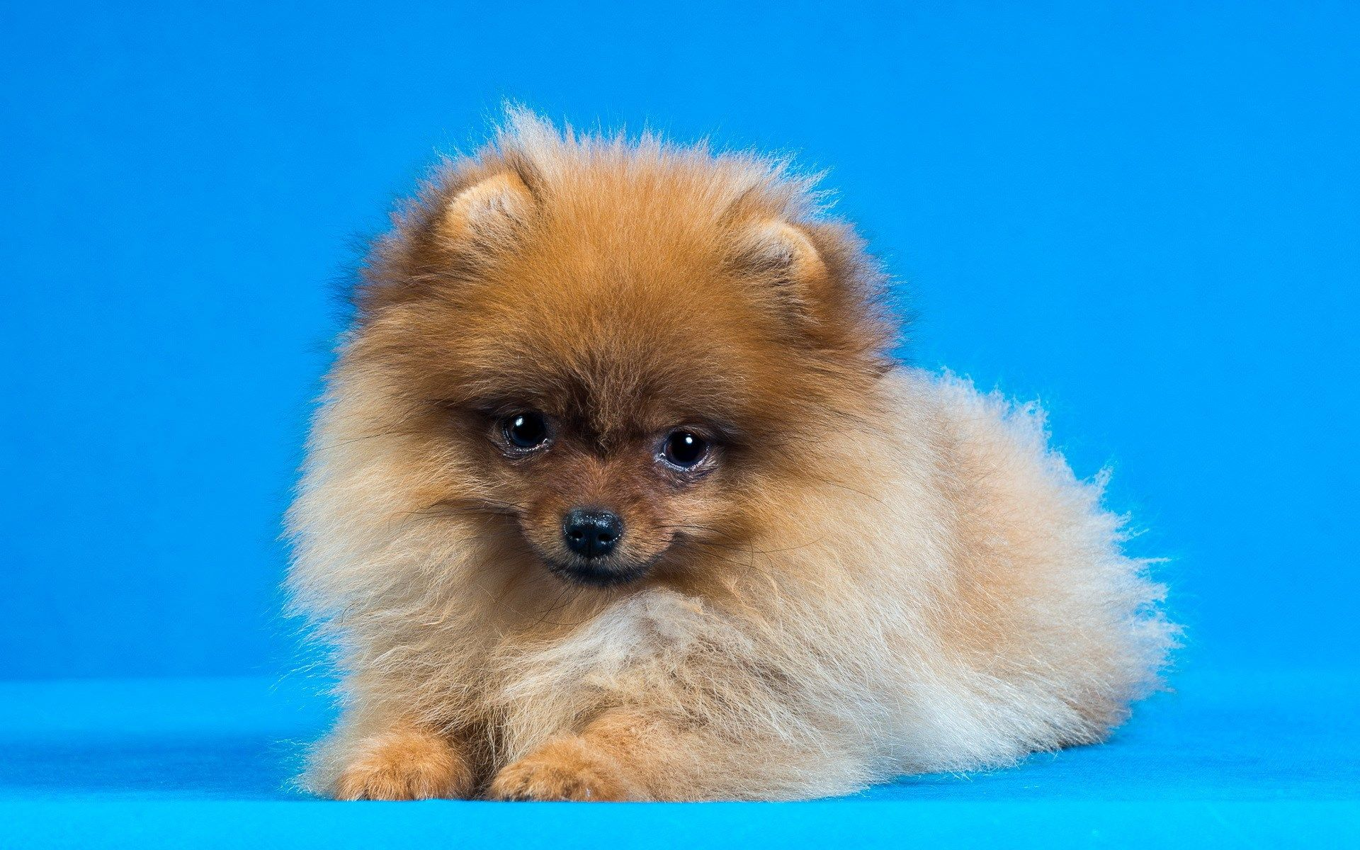 Darla Walls - Backgrounds In High Quality - pomeranian wallpaper - 1920x1200 px