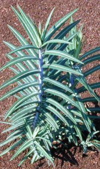 Gopher Repellent Natural Fertilizer Euphorbia Sun Garden