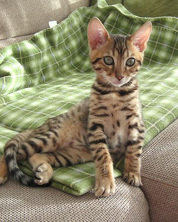 This Kitten S Fur Is Beautiful I Want To Get A Bengal Cat One Day