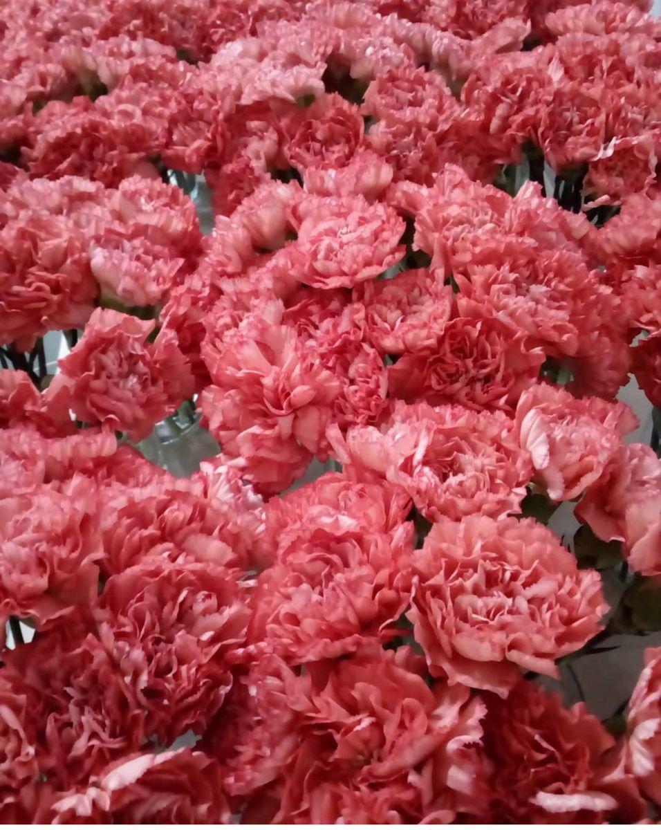 Carnation Flower In 2020 Carnation Flower Flowers For Sale Mini Carnations