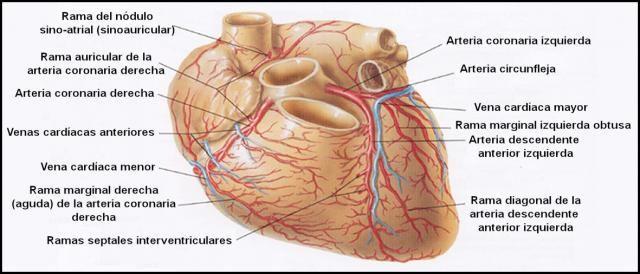 Arterias coronarias | Medicina y salud | Pinterest | Medicina y Salud