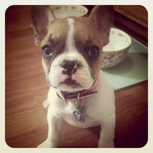 Olive, the French Bulldog Puppy, #frenchbulldog